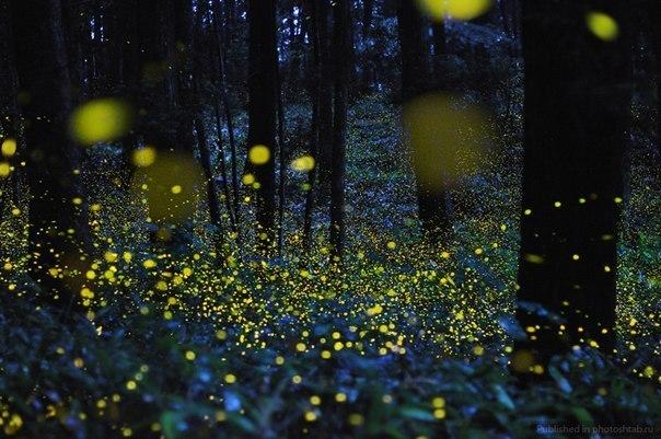 Светлячки в вечернем лесу - потрясающее зрелище.