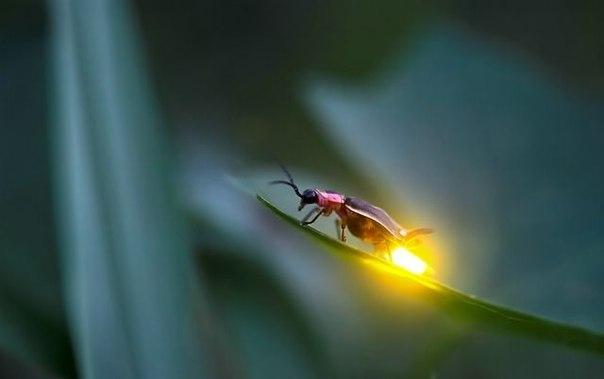 Светлячок. Автор фото: Radim Schreiber.