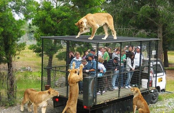 Туристы наблюдают за кормлением львов в парке для диких жи