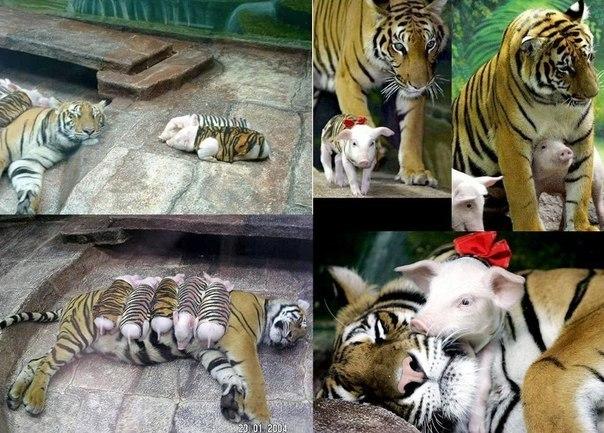 В Калифорнийском зоопарке тигрица родила тройню. Из-за осл