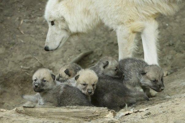 В зоопарке Вены родились арктические волчата.