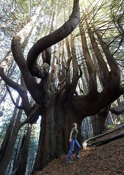 Волшебный лес, Калифорния.