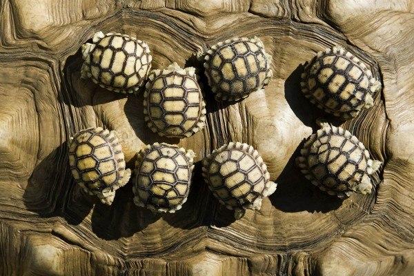 Восемь черепашек на спине своей мамы катаются по одному из