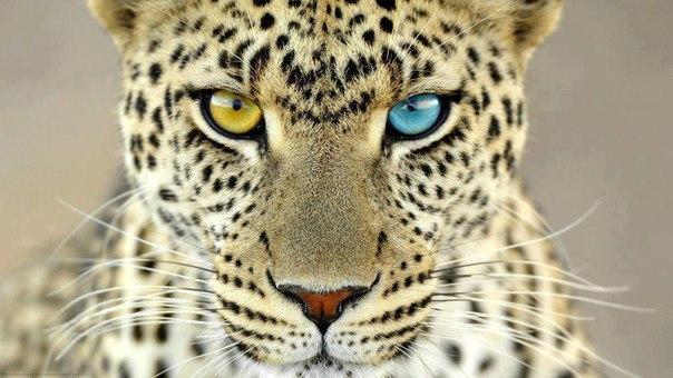 Ягуар с гетерохромией.