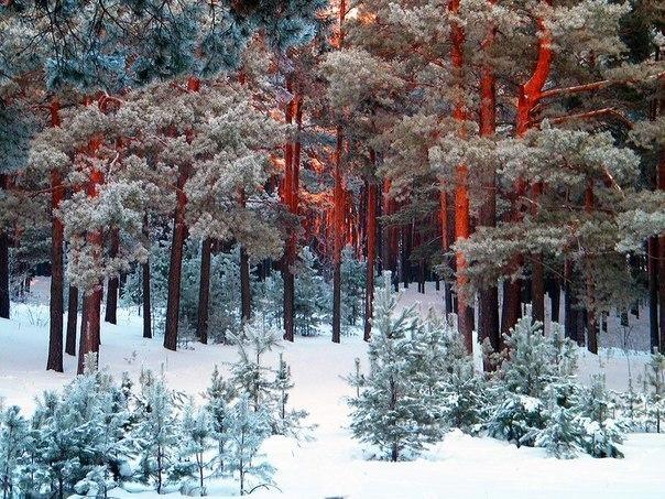 Зимний лес в России.